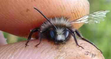 Mauerbienenmännchen sind an ihrem weißen Kopfputz zu erkennen.